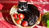 أكل القطط هل تستطيع القطط اكل التفاح ؟