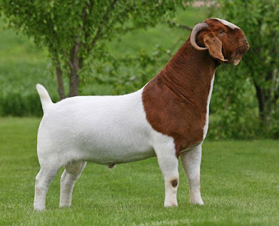How to raise Boer Goats for business