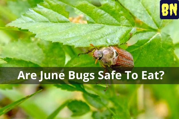 Are June Bugs Safe To Eat?