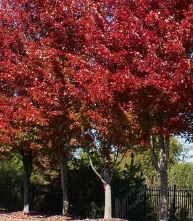 Brandywine Maple tree Pros and Cons