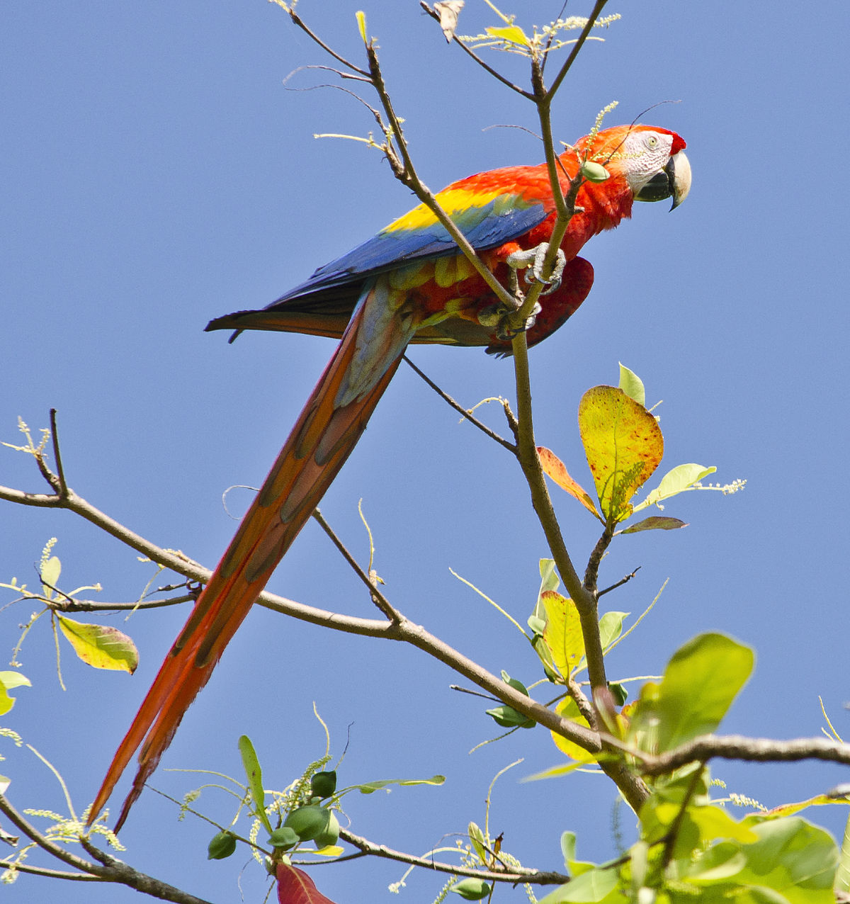Vẹt Macaw hay còn gọi là vẹt đuôi dài