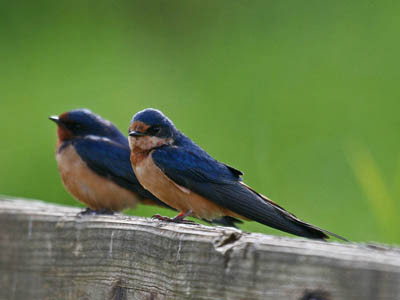 Photo of Barn Swallows on wooden railing.
