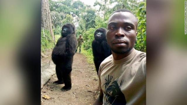 Mountain Gorilla power pose