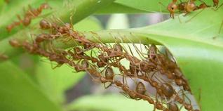 cara membasmi hama semut pada tanaman cabe