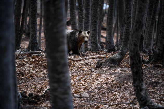 Κοζάνη: Επίθεση αρκούδας σε κυνηγό