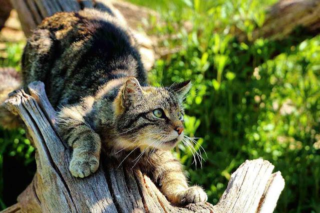scottish wild cat - 5 strange animals humans have tried to turn into pets