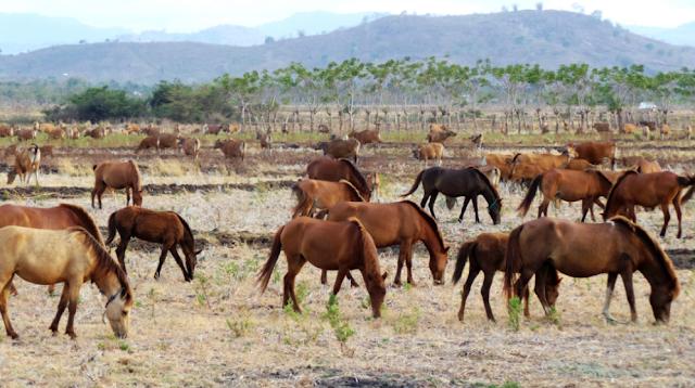 Selanjutnya, yang juga menjadi bisnis cinderamata khas Lombok Nusa Tenggara Barat adalah susu kuda liar. Minuman susu kuda liar mengandung protein lebih sedikit daripada susu sapi sehingga saluran pencernaan Anda menjadi lebih baik dan tubuhpun akan terasa lebih bugar.
