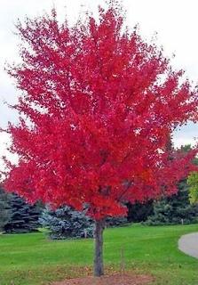 Autumn Blaze Maple Pros and Cons