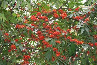 sita-ashoka-tree