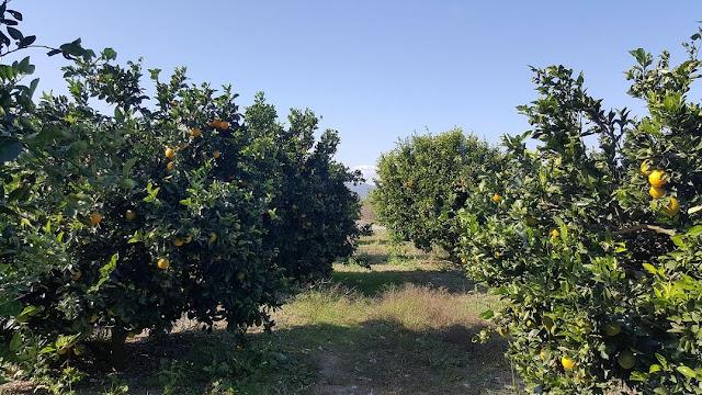 Ο ΕΛΓΑ αναζητά τρόπο να αποζημιώσει την ακαρπία στα πρώιμα πορτοκάλια