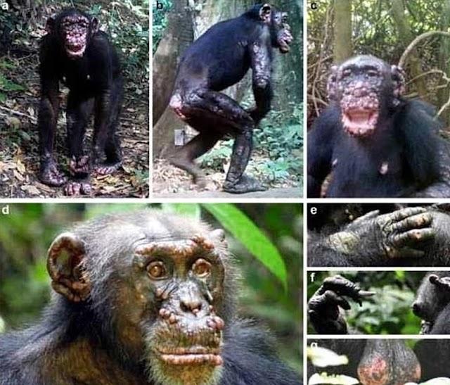 Σοκάρουν οι εικόνες με άγριους χιμπατζήδες που έχουν προσβληθεί από λέπρα