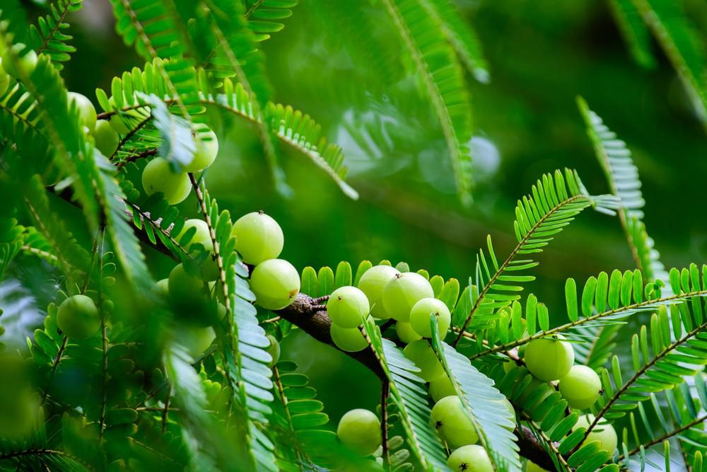 Benefits of Amla Powder for Your Hair