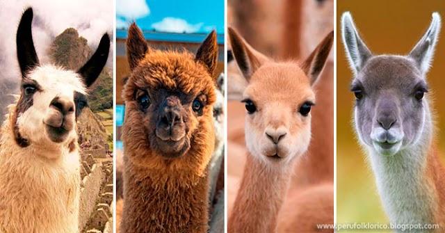 Conoce las diferencias entre los camélidos sudamericanos que habitan en el Perú [FOTOS]