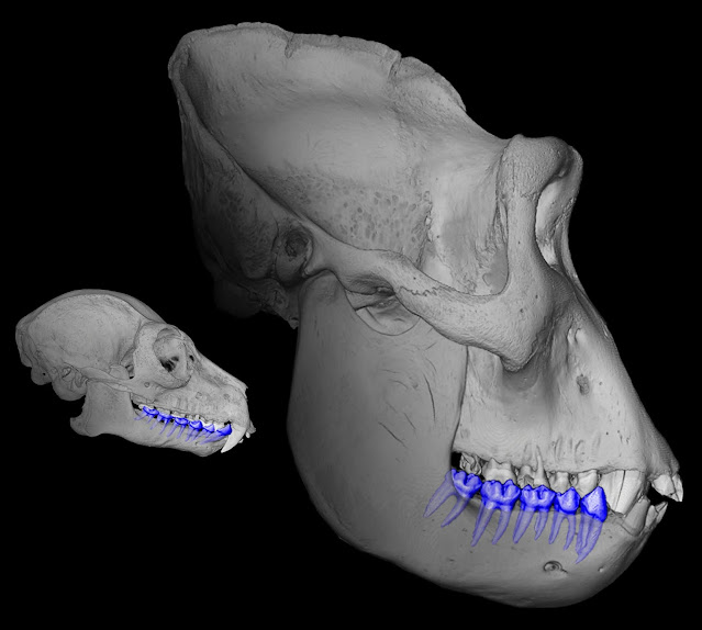 Tooth root surface area can determine primate size