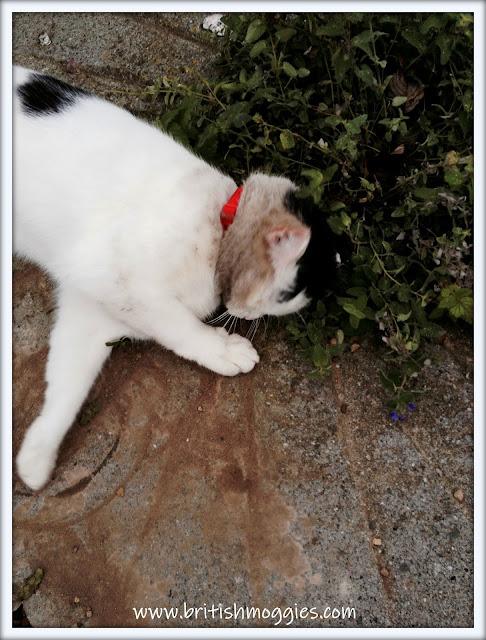 cat covered in mud, 3 legged cat , tripawed cat,  cat rolling in dirt,