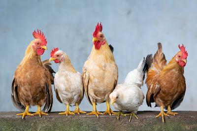 5 Disease Control Measures for Poultry Farm