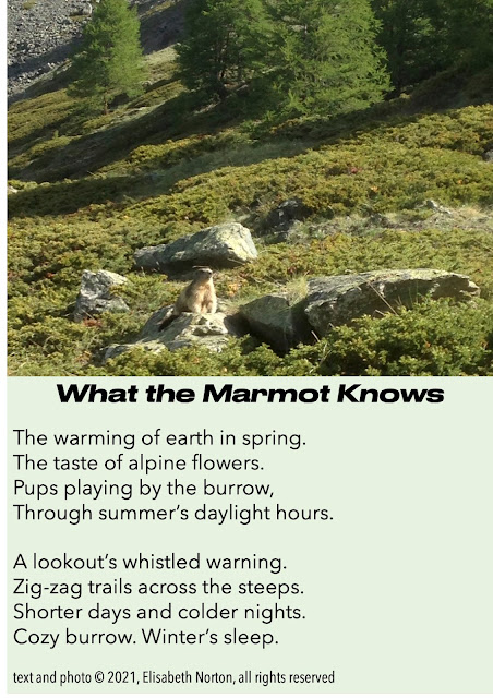 A marmot on a rock, on a mountainside. Poem: What the Marmot Knows  The warming of earth in spring.  The taste of alpine flowers.  Pups playing by the burrow,  Through summer's daylight hours.    A lookout's whistled warning.  Zig-zag trails across the steeps.  Shorter days and colder nights.  Cozy burrow. Winter's sleep.  © 2021, Elisabeth Norton, all rights reserved
