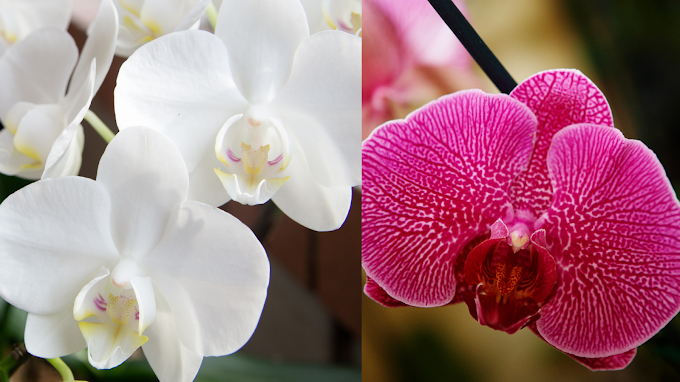 Basic care requirements for a Phalaenopsis orchid
