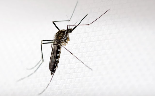 Το κορεάτικο κουνούπι που μοιάζει με το κουνούπι-τίγρης και θα μπορούσε να έρθει και στην Ελλάδα