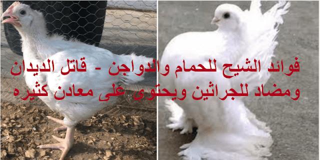 قاتل للديدان ماهي فوائد الشيح للحمام والدجاج