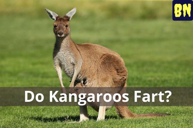 Do Kangaroos Fart?