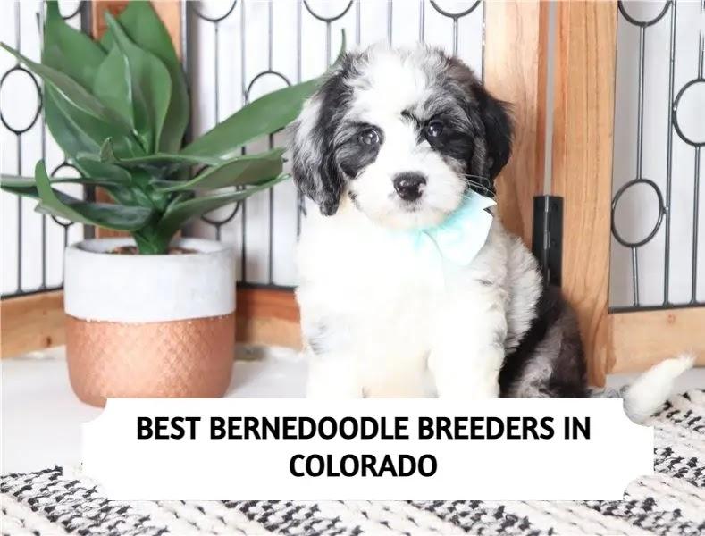 Best Bernedoodle Breeders in Colorado