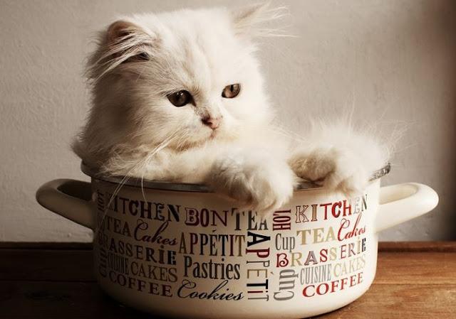 Kucing Persia 2 bulan