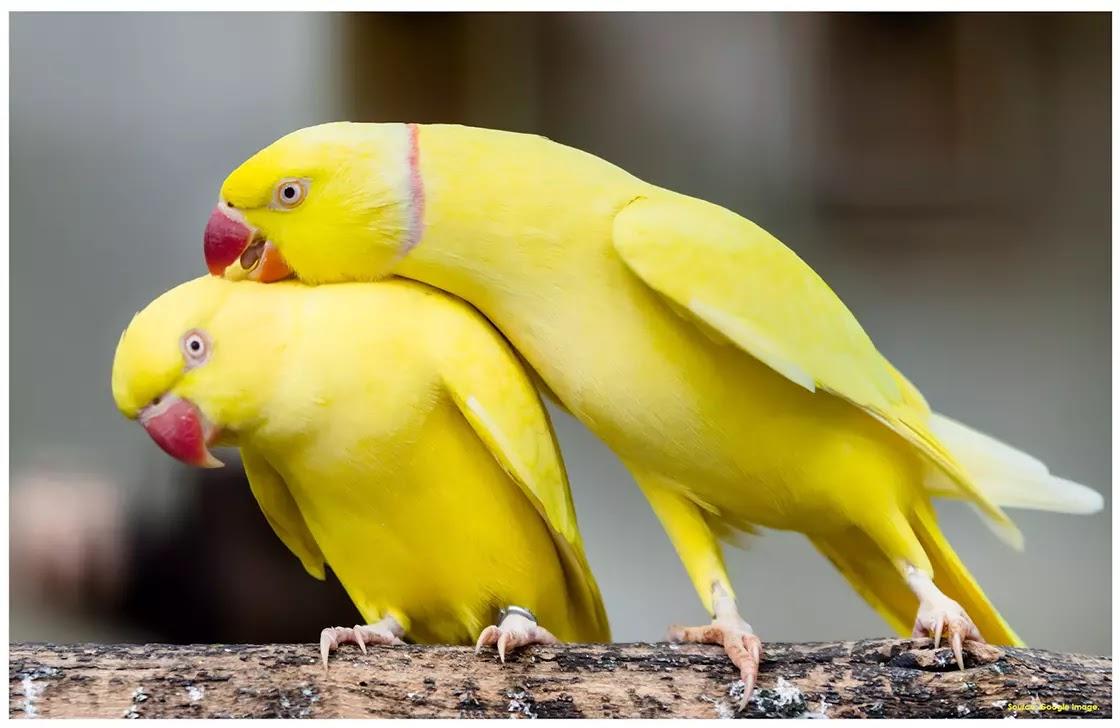 Vẹt Ringneck Ấn Độ Màu vàng trông sang chảnh