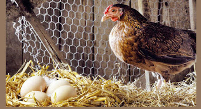 How to boost egg production in poultry