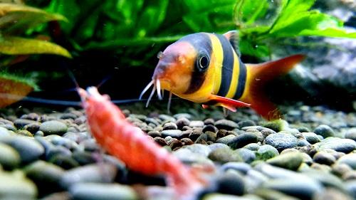 Best Aquarium Filter for Clown Loach Fish