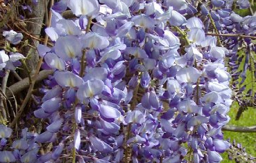 Blue Chinese Wisteria Tree Pros and Cons