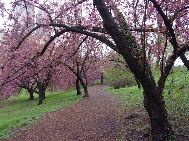 walking path bordered by trees with pink flowers