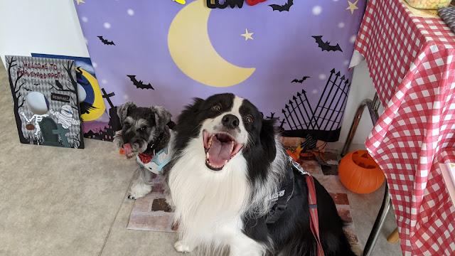 保護犬 ボーダーコリー トーマ ドッグプールrana