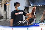 Penangkaran Ayam Ekor Lidi Beromset Belasan Juta Perbulan