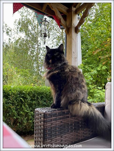 Brindle Tortoiseshell Cat sitting in the garden, Super fluffy cat,
