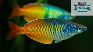 Boesmans Rainbow Fish