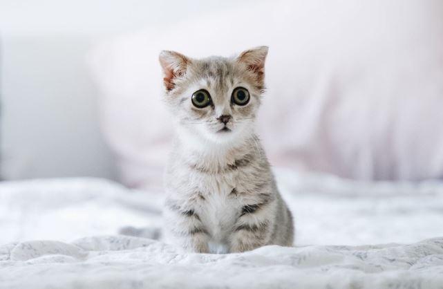 cara menjaga kucing indoor