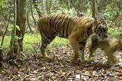 Kades Benarkan Ada Harimau di Desa Lubuk Mandarsah