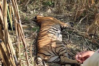 गन्ने के खेत में 2 क्विंटल वजनी बाघ पड़ा देख भाग खड़े हुए गांववाले, मौत की वजह का खुलासा नहीं