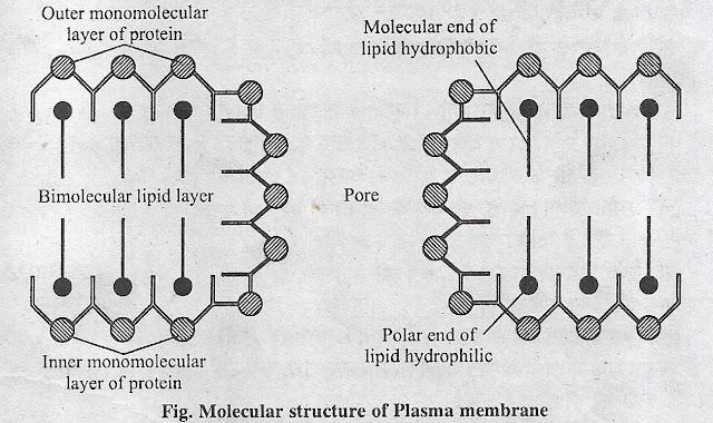 प्लाज्मा झिल्ली  या जीवद्रव्य कला या कोशिका कला (Plasma membrane) क्या है ? इसकी संरचना (Structure) , फ्ल्यूइड मोजैक मॉडल (Fluid Mosaic Model) , इकाई झिल्ली संकल्पना (Unit membrane concept)  कोशिका कला या प्लाज्मा झिल्ली के कार्य
