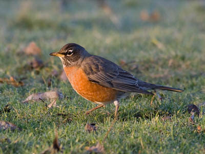 Photo of American Robin on lawn.