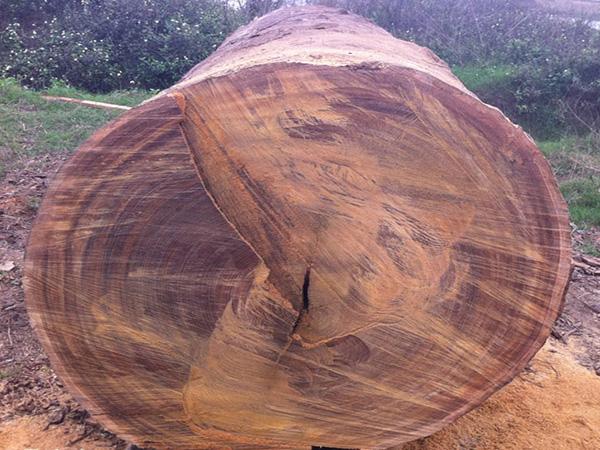 Đặc điểm của gỗ Gụ