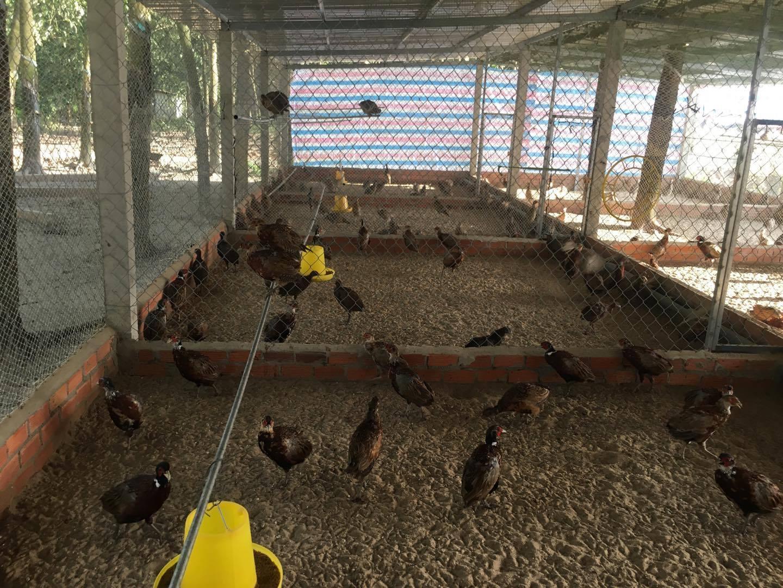 Chuồng nuôi chim trĩ kinh tế cần lớn và thoáng mát để đảm bảo chim có không gian phát triển tốt nhất.