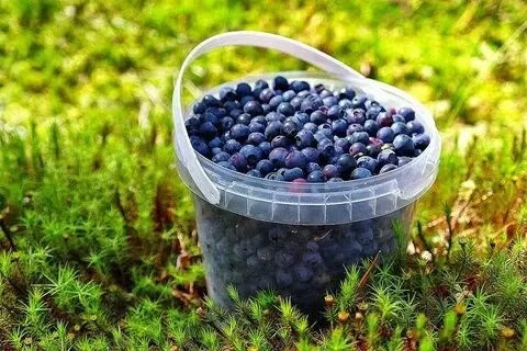 Blueberries, not just for Sal
