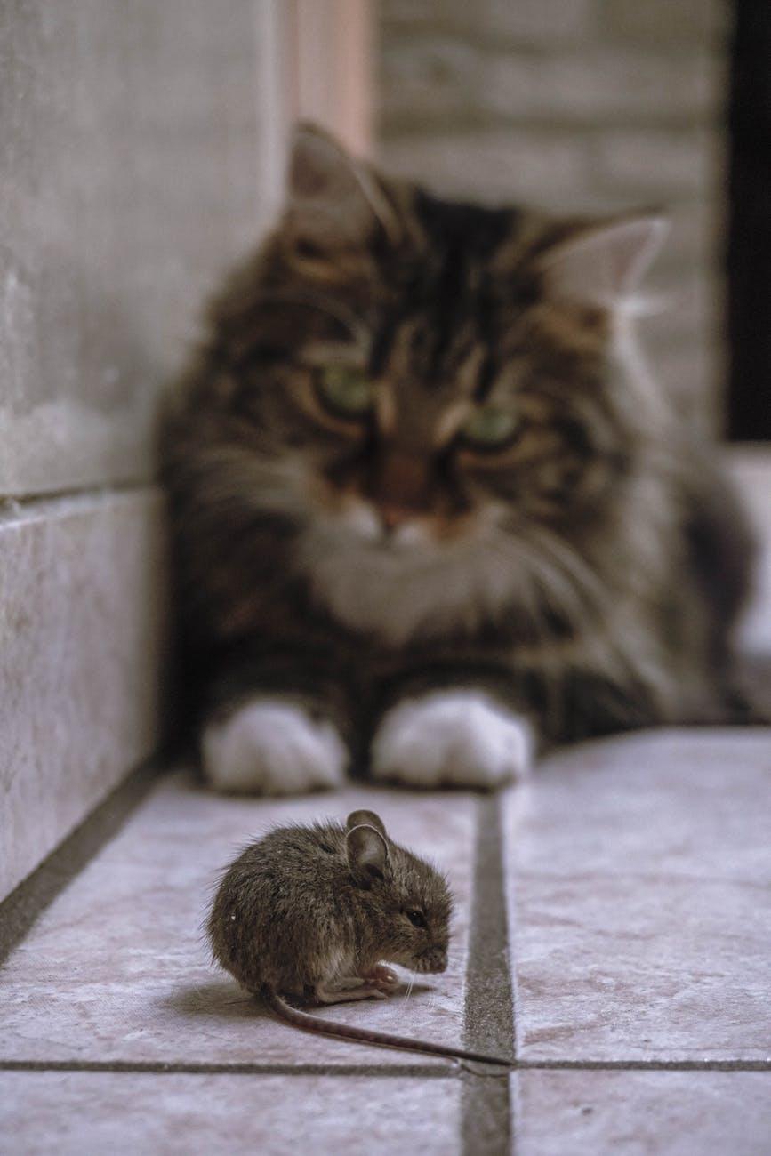 Pourquoi les chats mangent-ils des souris ? Devrions-nous les laisser faire ?